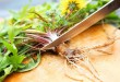 Dandelion Root: More Effective Than Chemotherapy