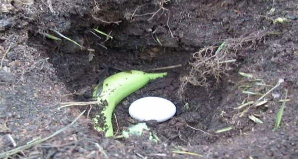 WHEN HE PUT AN EGG AND BANANA IN THE GROUND I THOUGHT IT WAS A JOKE. BUT THE RESULT? WOW!