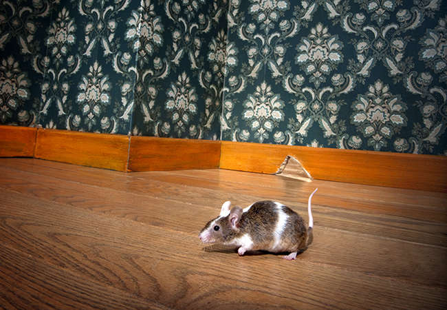 12 Most Effective and Easy Ways to Get Rid Of Mice Naturally